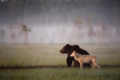 Lobo e Urso